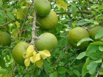 fruit_du_bael_arbre